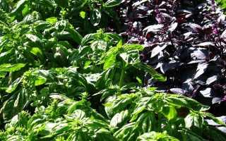Выращивание базилика в теплице: как правильно ухаживать и выбрать сорт с видео