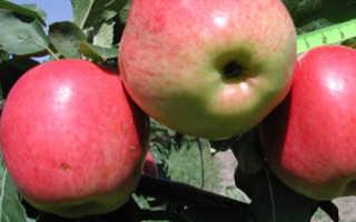 Яблоня Скала: описание и характеристики сорта, регионы выращивания с фото