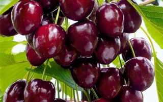 Черешня Радица: описание сорта и характеристики, выращивание и уход с фото