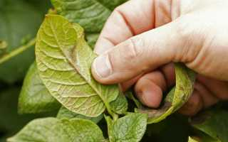 Сеникация и десикация картофеля: что это, когда проводить и как применять