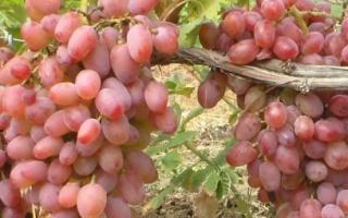 Виноград Гелиос: описание и характеристики сорта, плодоношение и уход за гибридом