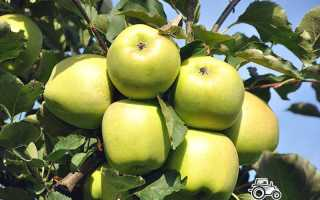 Сорт яблок Муцу: описание и характеристики сорта, посадка, выращивание и уход с фото