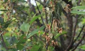 Почему вянут листья у черешни: причины и что делать, меры борьбы