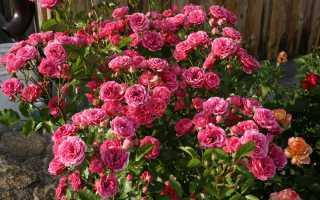 Условия выращивания кустовых роз: как правильно посадить и ухаживать