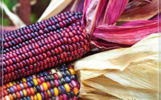 Разноцветная кукуруза: виды, описание сортов и использование с фото