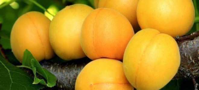 Что делать, если абрикосовое дерево не плодоносит