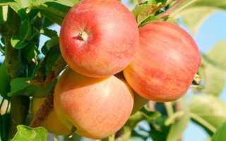 Яблоня Уральский Сувенир: характеристики и описание сорта, выращивание