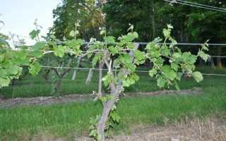 Как подвязать виноград на даче к шпалере правильно для начинающих с видео