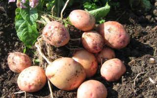 Картофель Жуковский ранний: описание и характеристика сорта, урожайность с фото