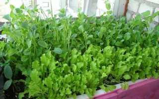 Как вырастить рукколу в домашних условиях на подоконнике из семян: посадка и уход