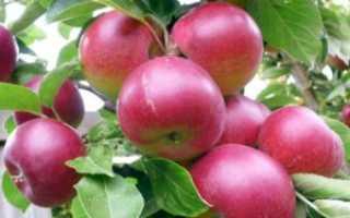 Яблоня колоновидная Фаворит: описание сорта и советы по уходу с фото