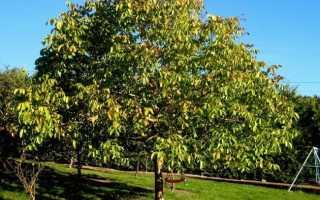 Обрезка грецкого ореха осенью, летом, весной: схемы для начинающих, дедлайны, видео