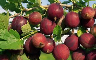 Крыжовник Олави: описание и характеристики сорта, выращивание и уход