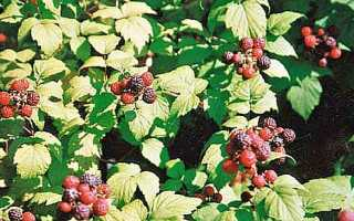 Черная малина: выращивание и уход, способы размножения и лучшие сорта