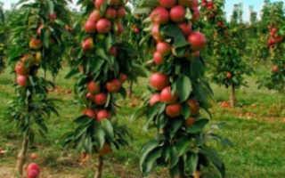 Яблоня Валюта колоновидная: описание и характеристики сорта, посадка и уход с фото