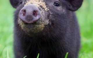 Вьетнамские свиньи: вес в 6 месяцев и факторы, влияющие на набор массы