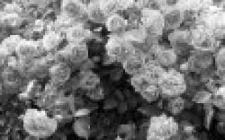 12 лучших сортов плетистой розы