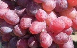 Виноград Байконур: описание и характеристики сорта, выращивание с фото