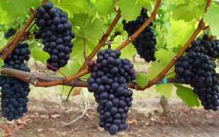 Виноград Кокур: описание сорта и характеристики, правила посадки и ухода