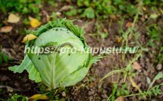 Сода для капусты от вредителей: как обработать, можно ли