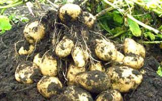 Выращивание картофеля: технология посадки и ухода в открытом грунте