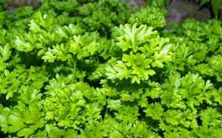 Петрушка: описание растения, лучшие сорта для открытого грунта с фото