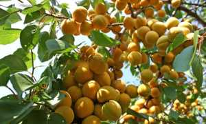 Абрикос Водолей: описание сорта и характеристики, урожайность с фото