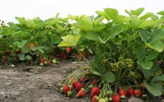 Клубника Полка: описание сорта и характеристики, выращивание и размножение с фото