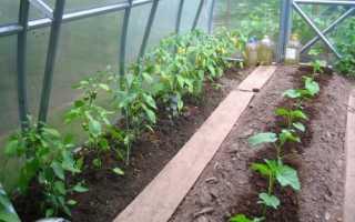 Сорта баклажанов для теплицы из поликарбоната: выращивание и уход, посадка с фото