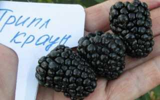 Ежевика Трипл Краун: описание и характеристики сорта, размножение, посадка и уход