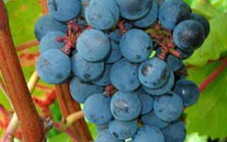 Болезни и вредители винограда: борьба с ними, что делать и чем опрыскивать
