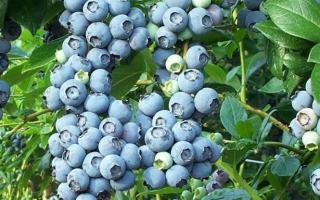 Голубика Нортланд: описание сорта и опылители, посадка и уход, отзывы садоводов с фото