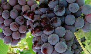 Виноград Кардинал: описание сорта и характеристики, выращивание с фото