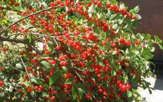 Вишня Бессея: описание сорта, посадка и уход, размножение с фото