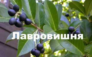 Лавровое дерево: уход и посадка в открытом грунте Фото и описание, польза и вред