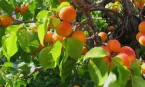 Когда пересаживать абрикос на другое место: сроки и пошаговая инструкция