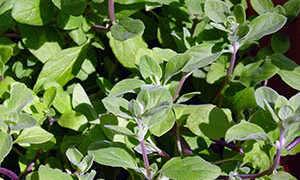 Майорана: выращивание из семян, посадка и уход в грунт, фото
