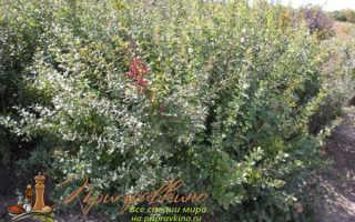 Барбарис (кустарник): посадка и уход в открытом грунте, размножение и выращивание