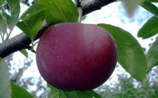 Шарафуга: гибрид со вкусом сливы и абрикоса, описание и характеристики с фото