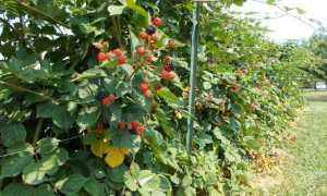 Ежевика Агавам: описание сорта и характеристики, посадка семенами и уход