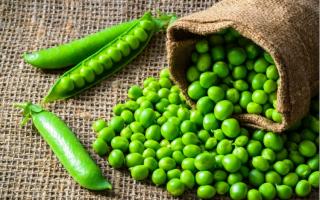 Как сажать горох семенами в открытый грунт с видео