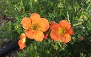 Лапчатка Ред Айс: описание, уход и выращивание, правила посадки кустарникового вида