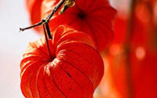 Как ухаживать за физалисом в теплице: выращивание и посадка с фото и видео