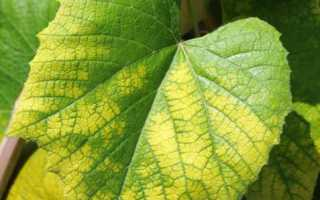 Хлороз винограда: причины и лечение железным купоросом, что делать