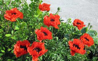 Мак садовый: виды и сорта с описанием, посадка, выращивание и уход в открытом грунте