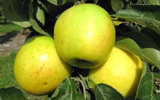 Яблоня колоновидная Малюха: описание и характеристики сорта, посадка и уход с фото