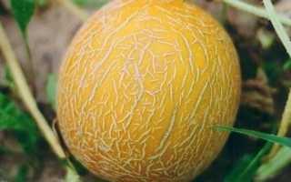 Дыня Айкидо: описание сорта, особенности выращивания и ухода с фото