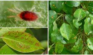 Галловый клещ на груше: причины появления и меры борьбы химическими и народными средствами