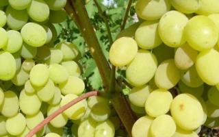 Виноград Августин: описание и характеристики сорта, посадка и уход с фото