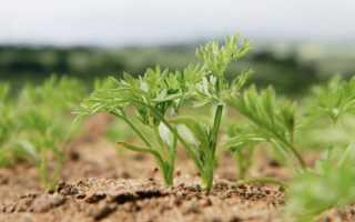 Морковь не взошла: что делать, почему, как ускорить прорастание